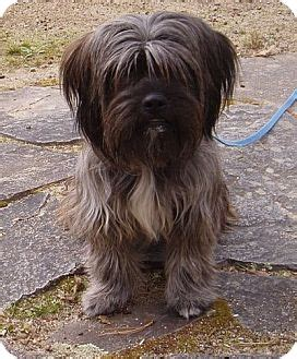 shih tzu and border collie mix bearded collie mix images frompo 1