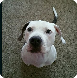 puppies for adoption indianapolis indianapolis in american bulldog boxer mix meet gambit a for adoption