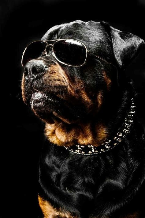 how big can a rottweiler get 25 best ideas about rottweilers on baby rottweiler rottweiler puppies