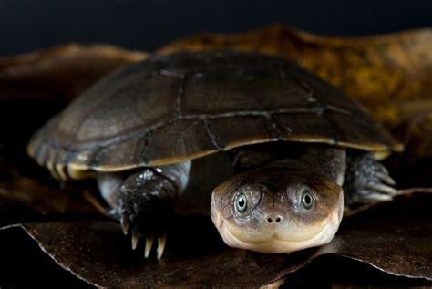 sideneck turtle cute animals boxer stuff pinterest