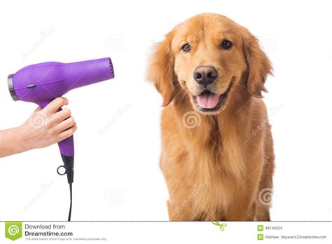 getting a golden retriever groomer stock photo image 49146634