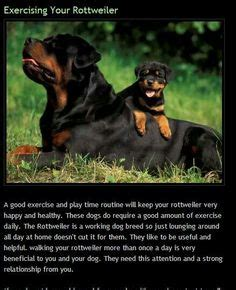1000 images about rottweiler on pinterest walking nutritional 1000 images about rottweilers on pinterest rottweilers