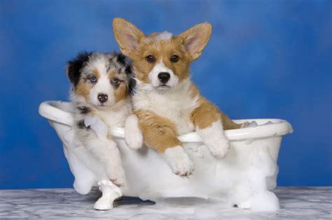 cani da casa come fare la toeletta al a casa e con quale frequenza