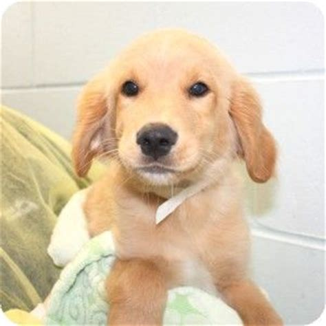 rescue puppies ma golden retrievers golden retriever mix and massachusetts on