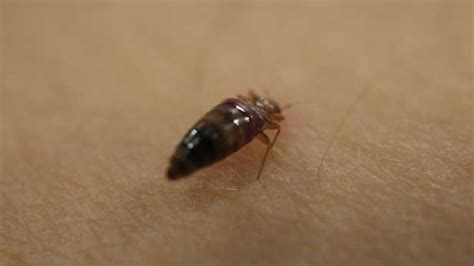 how to spot bed bugs bed bugs how to spot and get rid of them bt