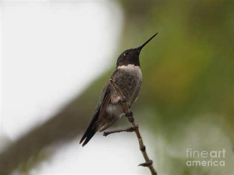 hummingbird sitting photograph by lori tordsen