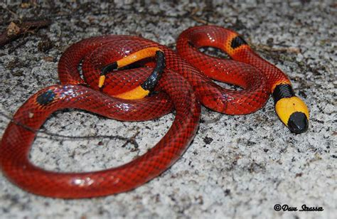 snake pattern red black yellow the most common myths about coral snakes the venom