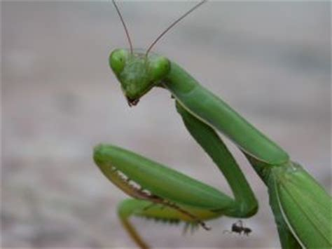 praying mantis change color praying mantis learn about the insect predator