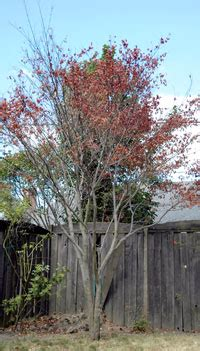 maple tree wilting leaves verticillium wilt disease maple tree problem yellow leaves branch