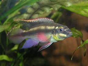 avenger blog freshwater fish pictures