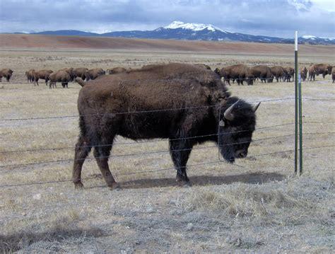 backyard bison backyard bison 100 backyard bison bison beef and turkey burger