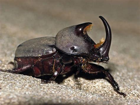 escarabajo rinoceronte flickr photo sharing