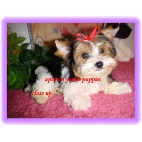 yorkie breeders in oklahoma uptown yorkie puppies terrier breeder in keota oklahoma