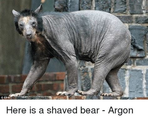 cep here is a shaved bear argon meme on me me