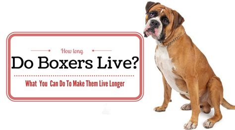 how many years do dogs live how do boxers live what you can do to make them live longer hi5dog