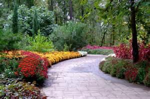 fall heralded chrysanthemum blooms garvan woodland gardens university arkansas