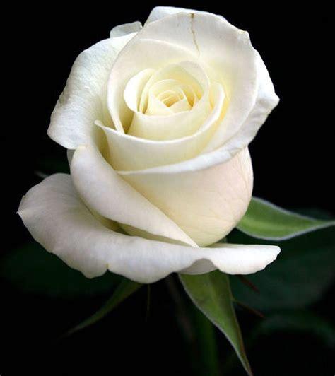 wallpaper bunga ros putih gambar gambar bunga mawar yang indah gambar foto wallpaper