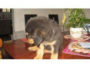 rottweiler puppies for sale in jamaica rottweiler puppies for sale