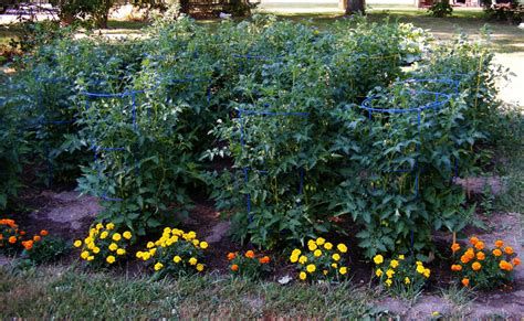 The Cottage On The Corner In A Garden Too Hot Marigolds In Vegetable Garden