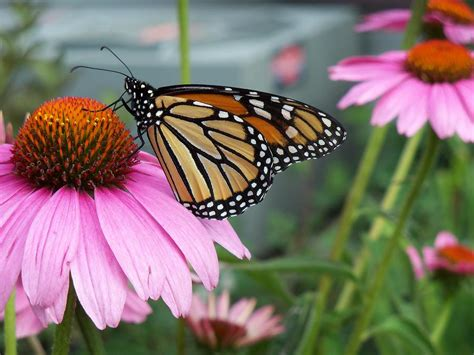 monarch butterfly drinking nectar photograph by corinne
