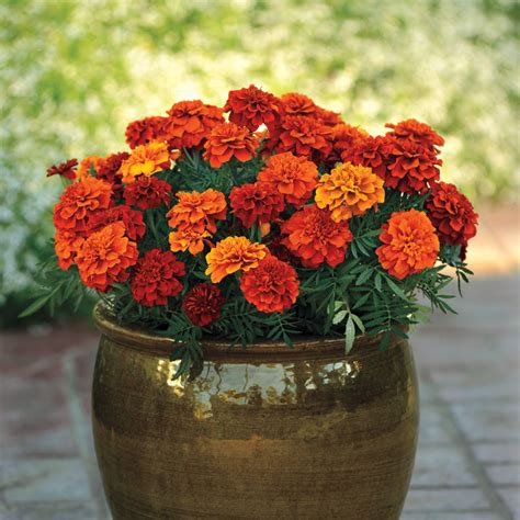 fireball marigold seeds from park seed