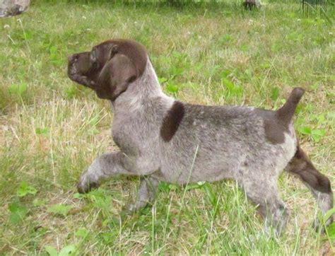 german shorthaired pointer puppies for sale in va index www pondhillshorthairs