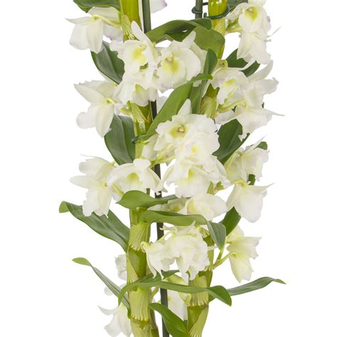 dendrobium orchids care watering and repotting