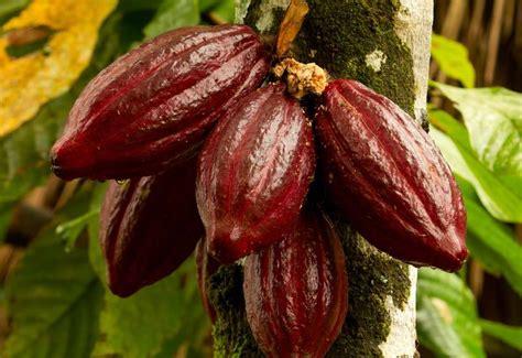 cocoa tree fruit the cacao tree cacao fruits cacao beans aduna