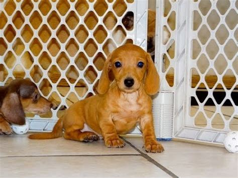 Miniature Dachshund Puppies For Sale In Green Bay Wisconsin Wi Eau