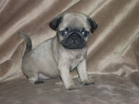 fawn pug puppies stunning pedigree fawn pug puppies birmingham west midlands pets4homes