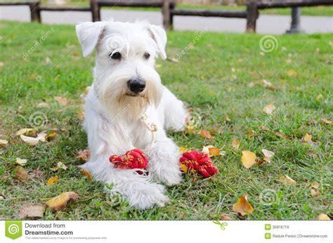 miniature schnauzer with toy stock image image 35816719