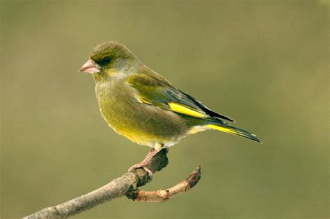 the green finch my website