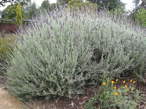 Lavender Creek lavender for all your senses gardens at lake merritt