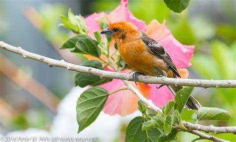colored tanager tanager colored piranga bidentata costa rica