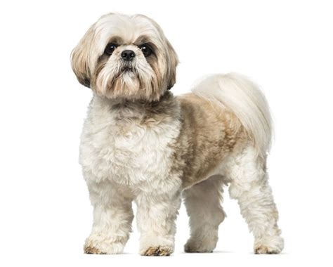 shih tzu shedding puppy coat small fluffy dogs