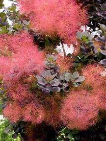 growing smoke trees how to grow a smoke tree in your yard
