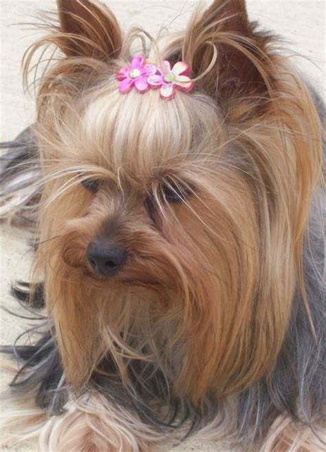want to breed my yorkie 25 best ideas about terriers on terrier puppies