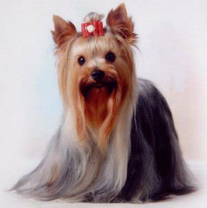 yorkie hair or fur hypoallergenic dogs staying sneeze free rover