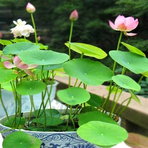 Lotus Plant For Sale 25 Best Ideas About Lotus Garden On Garden