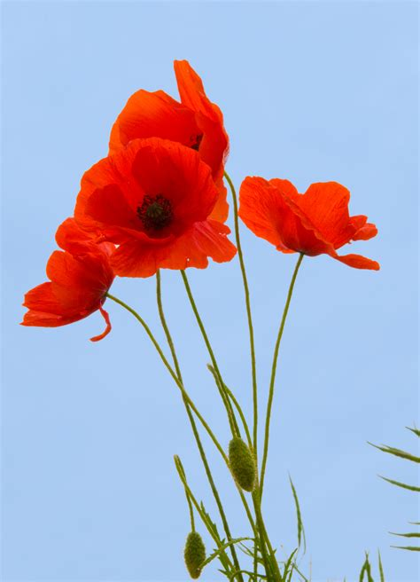 poppies against a blue sky northern france photo by john ecker pantheon photography