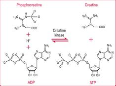 creatine phosphate definition creatine phosphate crp definition of creatine phosphate