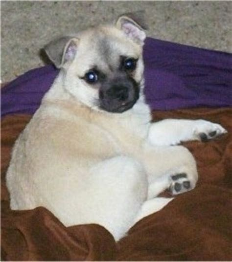 american eskimo pug mix pug a mo breed information and pictures