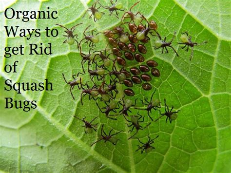 ways to get rid of pests in garden organic ways to get rid of squash bugs the prepared page