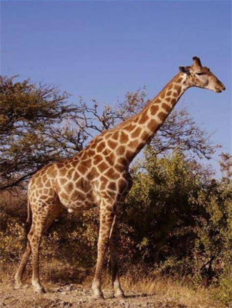 libro the giraffe that ate ranking de 40 curiosidades sobre los animales listas en