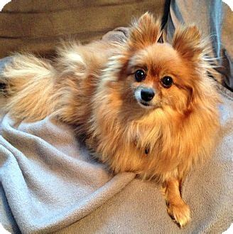 pomeranian rescue ontario pet not found
