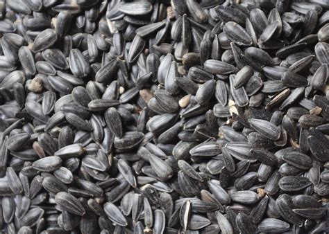 uk black sunflower seeds black sunflower seeds 12 75kg feeds stoves