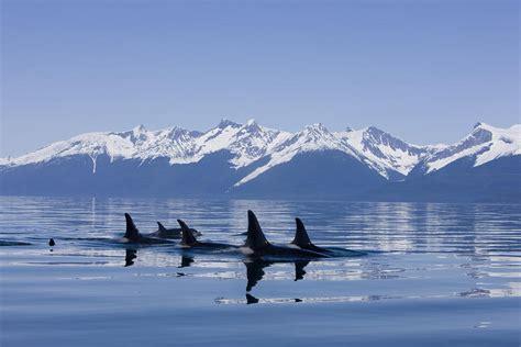 10 Breathtaking Amazing of Orcas in Alaska Best Amazing