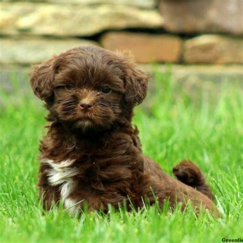 shi poo shih poo puppies for sale in de md ny nj philly dc and