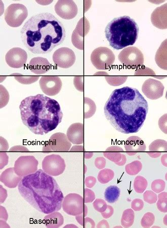 high white blood cell count in dogs canine basophil www pixshark images galleries with a bite