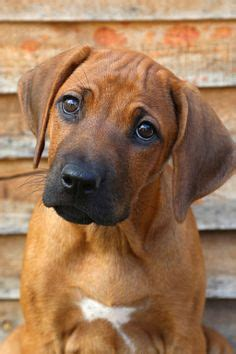 Do Rhodesian Ridgeback Shed by 1000 Images About Rhodesian Ridgeback On